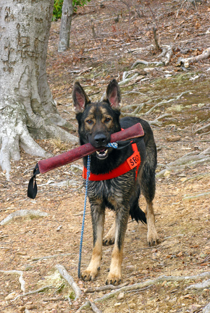 K9 Atticus search dog