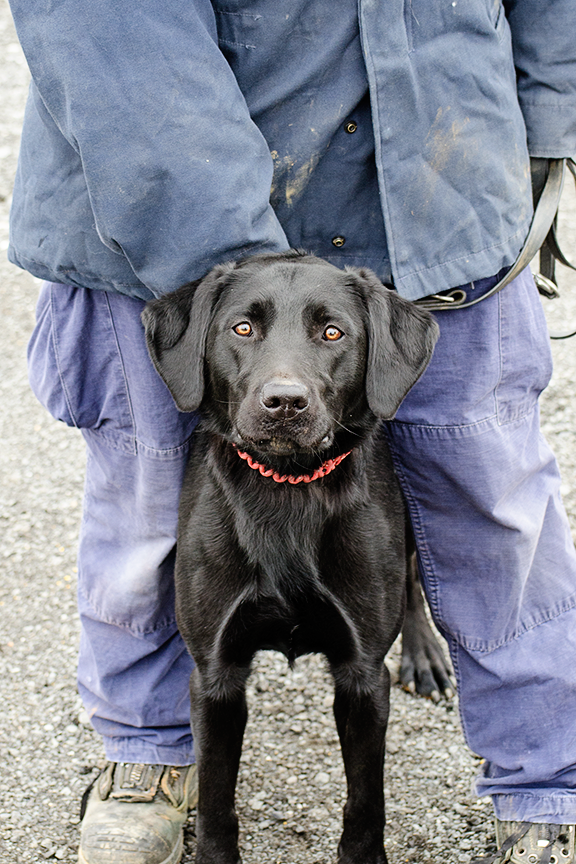 black Labrador working dog