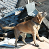 SAR Disaster Dog