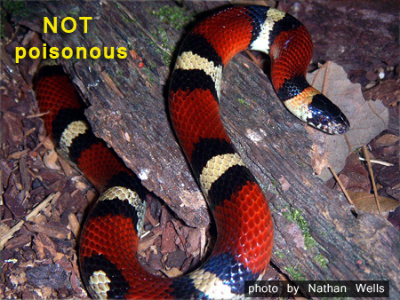 not coral_snake by Nathan Wells